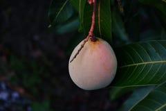 манго Стоковое Фото
