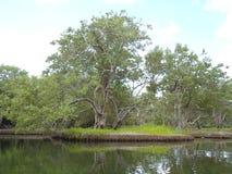 Мангрова в середине болота мангровы стоковое изображение
