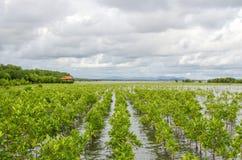Мангрова засаживая проектную область в Таиланде для заповедника mang Стоковые Изображения RF