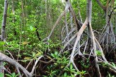 мангрова пущи стоковое фото rf