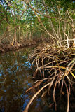 мангрова пущи стоковая фотография rf