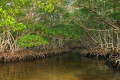 мангрова пущи стоковые изображения rf