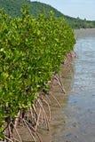 мангрова Таиланд стоковые фото