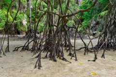 Мангрова укореняет залива Phang Nga стоковое изображение