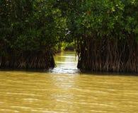 мангрова Стоковое Фото