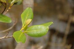мангрова стоковая фотография rf