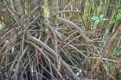 Мангрова reforest Стоковое Фото