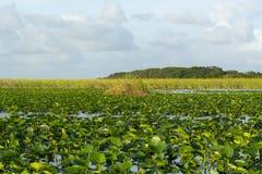 Мангровы болотистых низменностей Стоковая Фотография