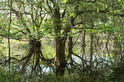 мангровы Стоковые Изображения