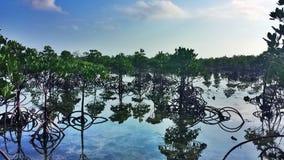 мангровы Стоковое Изображение