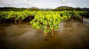 мангровы стоковая фотография