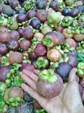 Мангустан в руках садовника Стоковое Изображение RF