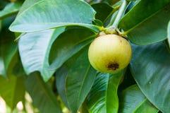 Мангустан на дереве Стоковые Изображения