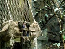 Мангуста в зоологических садах и аквариум в Берлине Германии Зоопарк Берлина посещать зоопарк в Европе, Стоковая Фотография RF