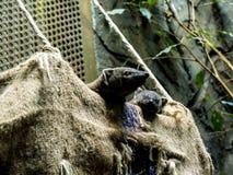 Мангуста в зоологических садах и аквариум в Берлине Германии Зоопарк Берлина посещать зоопарк в Европе, Стоковые Изображения RF