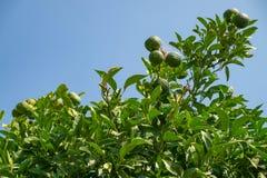 Мандарины заболеванием, который выросли в саде Заболевание цитруса твердолобое Стоковое Изображение