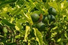 Мандарины и цитрус заболеванием, который выросли в саде Стоковые Изображения RF