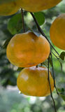 мандарин свежих фруктов Стоковое фото RF