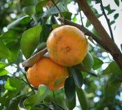 мандарин свежих фруктов Стоковая Фотография