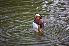 мандарин утки Стоковое Фото