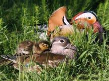 мандарин утки Стоковое Изображение