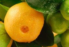 мандарин стоковая фотография