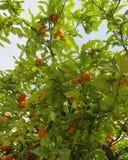 Мандарины на дереве Стоковая Фотография RF