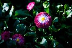 Маргаритка, английская маргаритка или цветки маргаритки Стоковое Фото