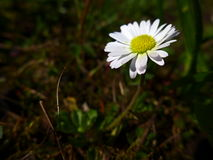 Маргаритка - белизна Стоковое Фото
