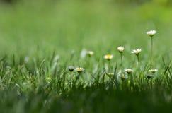 Маргаритка весной на луге стоковые фотографии rf