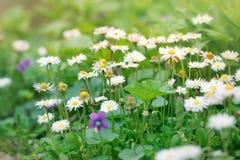 Маргаритка весны в луге Стоковое фото RF