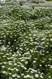 Маргаритка весны лето сада цветков цветения красивейший лужок Backgroun лета Стоковое фото RF