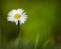 Маргаритка весны растя в траве стоковое фото