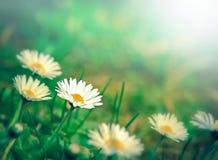 Маргаритка весны стоковое изображение
