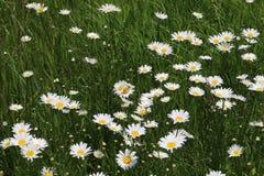 Маргаритка Вол-глаза, & x28; Leucanthemum& x29 хризантемы; Стоковые Фото