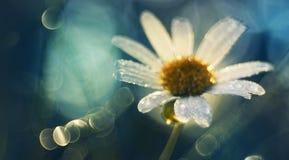 Маргаритка в голубом цвете стоковая фотография