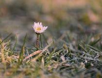 Маргаритка в заморозке зимы стоковая фотография