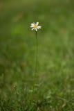 Маргаритка в поле Стоковое Фото