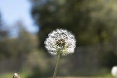 Маргаритка в форме семени стоковые фото