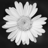 Маргаритка в черно-белом стоковая фотография