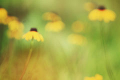 Маргаритка лета Стоковая Фотография RF