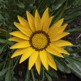 Маргаритка желтого цвета Wonderfull стоковые изображения rf