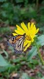 Маргаритка и бабочка Стоковое Фото
