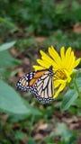 Маргаритка и бабочка Стоковое Изображение RF