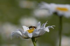 Маргаритка и пчела halitus стоковое фото