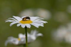 Маргаритка и пчела halitus стоковые изображения rf