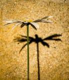 Маргаритка и своя тень стоковое изображение