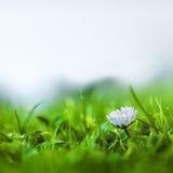 Маргаритка и травы Стоковая Фотография RF