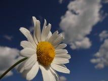 Маргаритка как облако и солнце в небе стоковая фотография