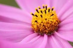 Маргаритка конца-вверх розовая и предпосылка нерезкости зеленая стоковая фотография